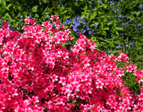 Azalea. Massive of pink azalea, flowering in brilliant sunshine against a background of violets and foliage royalty free stock photos