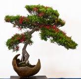 Azalea met bloemen als bonsai Royalty-vrije Stock Foto's