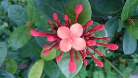 Azalea mini. Micro pink flower Royalty Free Stock Photo