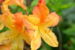 Azalea mollis close-up. Detail of orange flower of Azalea mollis stock photo