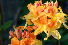 Azalea mollis close up Royalty Free Stock Photos