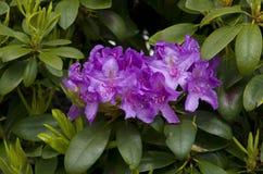 Azalea púrpura Fotos de archivo libres de regalías