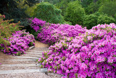 Azalea Path Stock Photo
