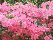 Azalea Path royaltyfria foton