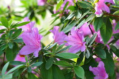 Azalea, pink Azalea flower blossom Stock Image