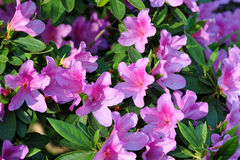 Azalea, pink Azalea flower blossom Royalty Free Stock Photos