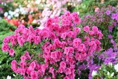 Azalea, pink Azalea flower blossom Stock Images