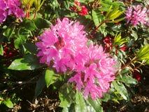 Azaleas in flower 2 royalty free stock photos