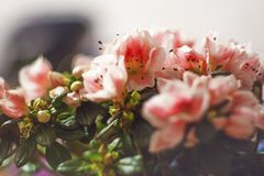Azalea beautiful blooming indoor flower stock image