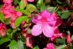 Azalea Pink Flowers Images stock