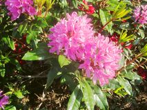 Azalea flowers 1 royalty free stock images