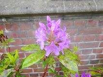 An Azalea in front of an old brick wall royalty free stock photos