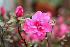 Azalea pink Stock Image