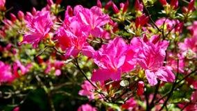 Azalea pink Stock Photo