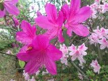 Azalea Plant Blossoming in Tuin stock foto's