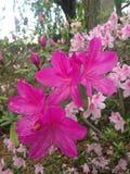 Azalea Plant Blossoming in Tuin stock afbeeldingen