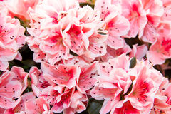 Azalea Royalty Free Stock Images