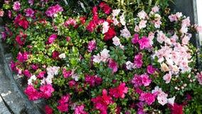 Azalea Plant In um parque Fotos de Stock Royalty Free