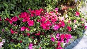 Azalea Plant In um parque Fotografia de Stock