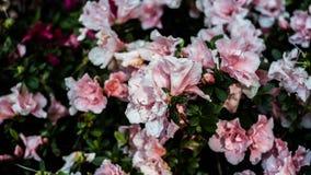 Azalea Plant In um parque Fotografia de Stock Royalty Free