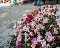Azalea Plant In un parco immagine stock