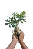 Azalea plants. Small azalea plants on a white background in the tropics Royalty Free Stock Photography