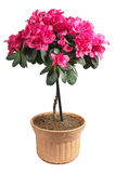 Azalea in a pot. Blooming pink azalea in a pot isolated on white background stock photos