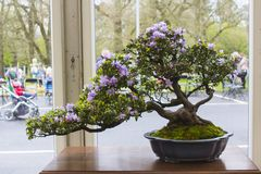 Azalea and pot Bonsai combination in training in Northern Ireland and on display at the Belfast spring festival at Barnetts Demesn royalty free stock photos