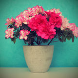 Azalea in pot Royalty Free Stock Image