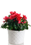 Azalea in pot Stock Photo