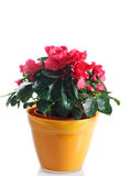 Azalea in pot Royalty Free Stock Photography