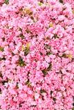 azalea różowe kwiaty, Zdjęcia Stock
