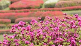 azalea różowe kwiaty, zbiory