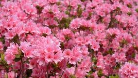 azalea różowe kwiaty, zdjęcie wideo