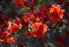 Azalea. Red azalea blooming in the garden Stock Photo