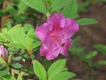 Azalea. Red azalea bush in North Carolina stock photography