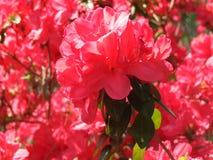 Azalea. Red azalea bush in North Carolina stock photos