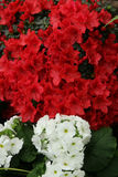 Azalea red,Petunias, Yellow daffodil,pansies, snapdragon and marigold, beautiful flower green grass background black white Stock Image