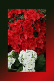 Azalea red,Petunias, Yellow daffodil,pansies, snapdragon and marigold, beautiful flower green grass background black white Stock Photo
