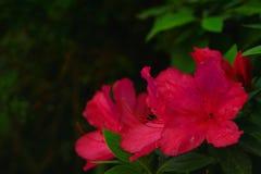 Azalea. Redish pink azalea blossoms Stock Images