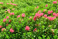 Azalea Rhododendron. Flowers in the alps Royalty Free Stock Photography