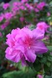 Azalea rhododendron. Blooming flowers - Azalea rhododendron in the garden Stock Photos