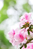 Azalea Rhododendron. Pink Azalea Rhododendron in spring Royalty Free Stock Images