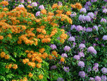 Azalea and Rhododendron royalty free stock images
