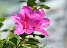 Azalea Rhododendron Flower Imágenes de archivo libres de regalías