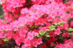 Azalea Rhododendron flowers. In the garden royalty free stock photography