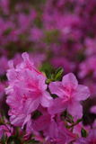 Azalea Rhododendron flowers. In the garden stock photos