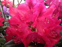 Azalea, Rhododendron Plant Blossoming in Manhattan, New York, NY in Spring. Stock Photo