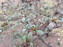 Azalea (Rhododendron) Plant with Flower Buds in Early Spring. Stock Image