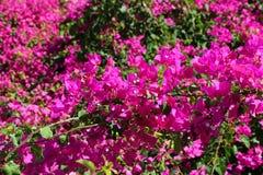 Azalea in rode purple Royalty-vrije Stock Foto's